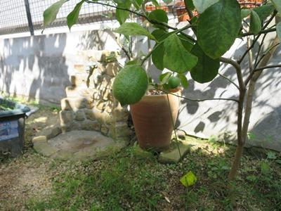 家庭菜園でレモン栽培