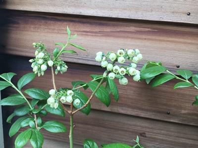 ブルーベリーの花
