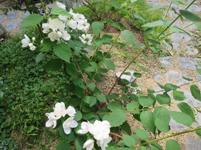 バイカウツギの花