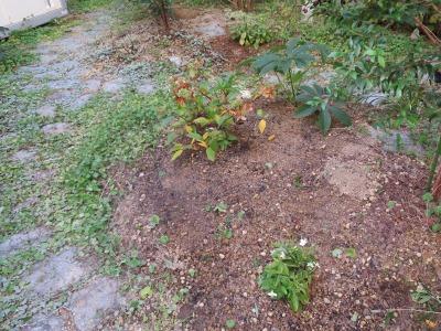 ノリウツギ植栽