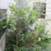 庭木の植え替え