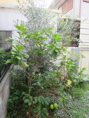 オリーブ植え替え前